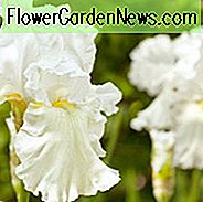 Iris Immortality groeiende informatie, baardiris 'Onsterfelijkheid groeiende informatie, Iris Germanica Immortality, Reblooming irises, Fragrant irises, White irissen, Award Irissen