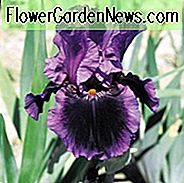 Iris 'Pagan Dance', Tall Bearded Iris 'Pagan Dance', Iris Germanica 'Pagan Dance', Early Season Iries, Mid Season irissen, Late Season Irises, Reblooming irises, Purple irises