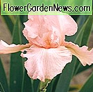 Iris Pink Attraction wachsende Informationen, Schwertlilie Pink Attraction wachsende Informationen, Iris Germanica Pink Attraktion, Reblooming Iris, duftenden Iris, Pink Iris