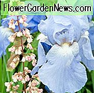 Iris Sugar Blues, Baardiris Sugar Blues, Iris Germanica Sugar Blues, Reblooming irissen, Fragrant Irissen, Blue irises, Award Irissen