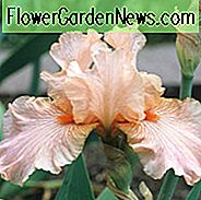 Iris 'Diamond Blush', Tall Bearded Iris 'Diamond Blush', Iris Germanica 'Diamond Blush', Late Midseason Irissen, Reblooming irissen, Roze irissen