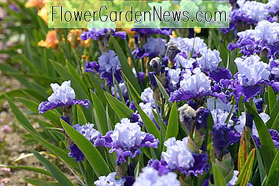 Fabulous Reblooming Bearded Irises