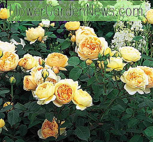 Rosa Jude the Obscure, Rose Jude the Obscure, English Rose Jude the Obscure, David austin rose Jude the Obscure, Fragrant roses., Shrub roses, yellow roses, abrikozenrozen, Climbing Roses, Rose Bushes, Garden Roses