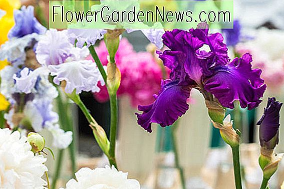 Spectacular Early Blooming Bearded Iris