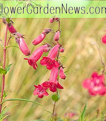 Penstemon 'Firebird' (Bartzunge)