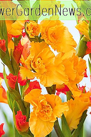 Gladiolus 'Lemon Drop' (Sword-Lily)