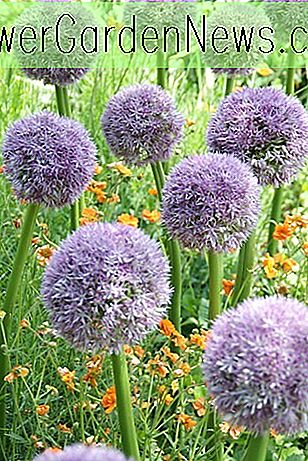 Allium 'Round and Purple', Zierzwiebel 'Round and Purple', Zierlauch 'Round and Purple', Spring Bulbs, Frühlingsblumen, Giant Onions, Purple flowers