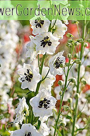Delphinium 'Magic Fountain White' (Larkspur)