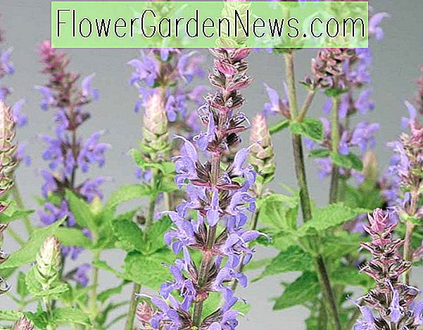 Salvia nemorosa 'Bordeau เหล็กกล้า' (Sage)