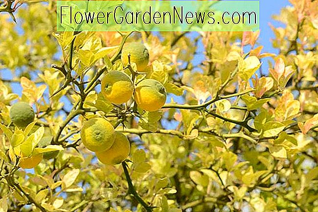 Poncirus trifoliata (Hardy Orange)