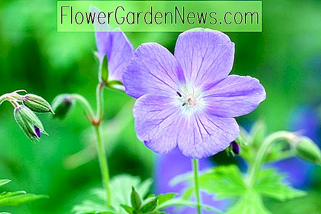 Geranium 'Johnson's Blue' (Cranesbill)