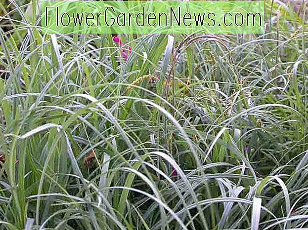 Carex flacca (Blue Sedge)