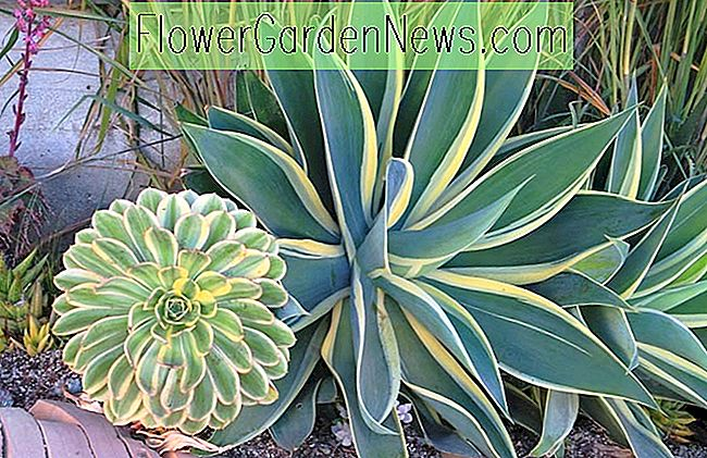 Agave attenuata 'Ray of Light', Agave 'Ray of Light', Fox Tail Agave 'Ray of Light', Bonte Agave,