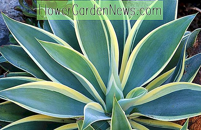 Agave attenuata 'Ray of Light' (Fox Tail Agave)