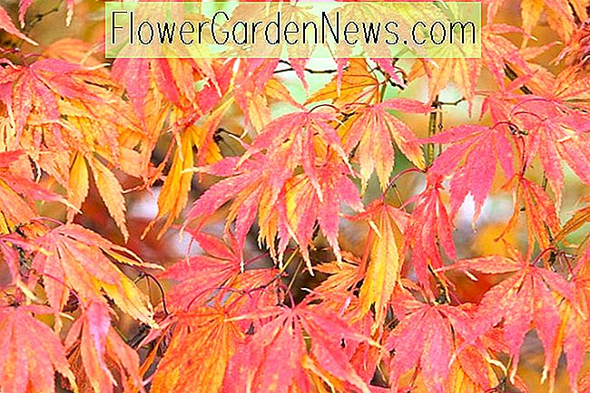 Acer palmatum 'Elegans' (Japanese Maple)