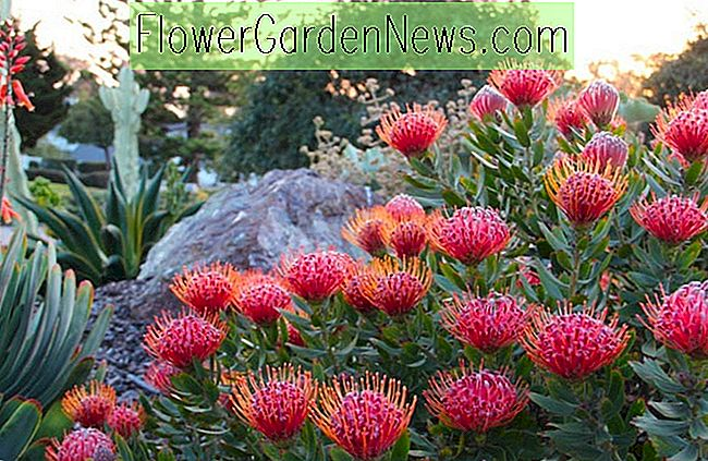 Leucospermum 'Scarlet Ribbon' (Pincushion)