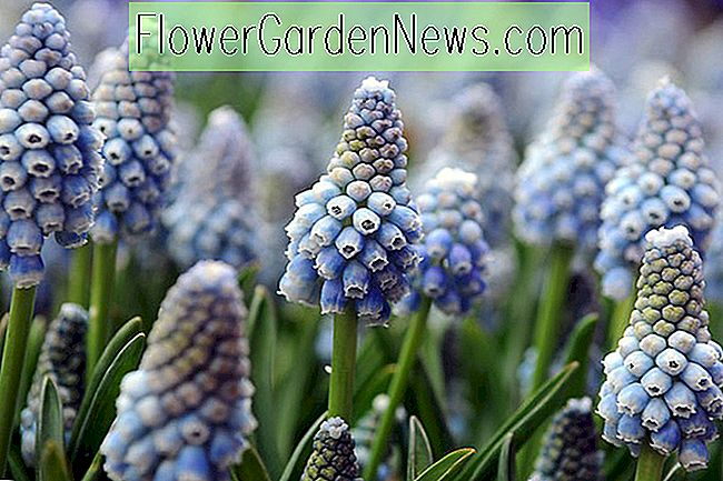 Muscari aucheri 'Ocean Magic' (Traubenhyazinthe)
