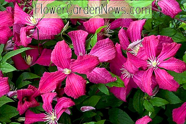 Clematis 'Abundance' (Viticella Group)