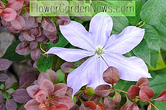 Clematis 'Fujimusume' (Early Large Flowered Clematis)