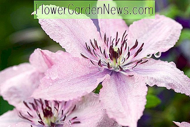 Clematis 'Hagley Hybrid' (Late Large-Flowered Clematis)