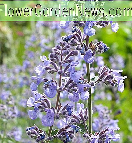 Nepeta 'Six Hills Giant' (Catmint)