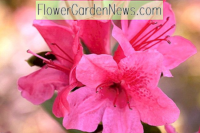 Rhododendron 'Autumn Cheer' (Encore Azalea Serie)