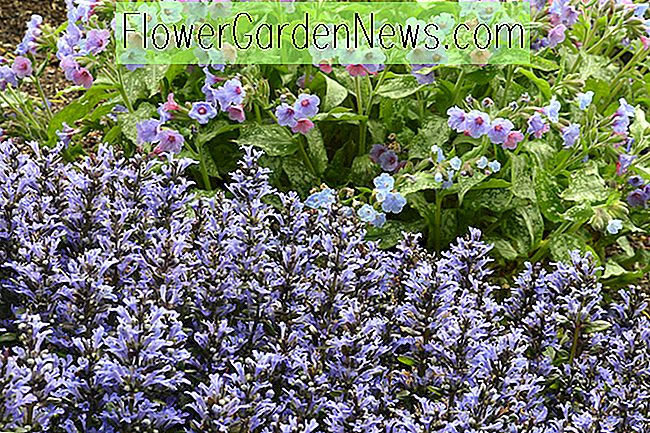 Ajuga Reptans 'Catlin's Giant', Bugle 'Catlin's Giant', Teppich-Bugle 'Catlin's Giant', Ajuga reptans 'Macrophylla', Ajuga 'Catlins Giant', Bugleweed 'Catlins Giant', Carpetweed 'Catlins Giant'