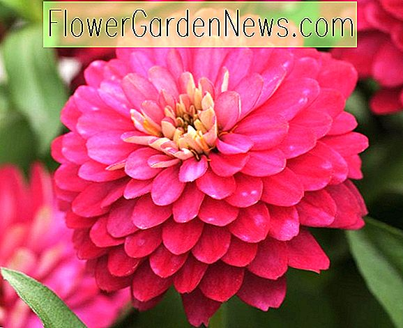 Zinnia marylandica 'Double Zahara Strawberry'