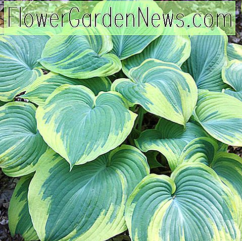 Hosta 'Earth Angel' (Wegerich-Lilie)