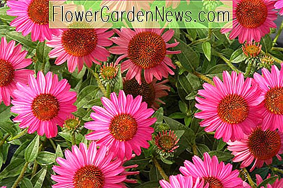 Echinacea 'Amazing Dream' (Coneflower)