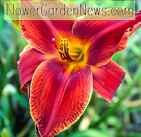 Hemerocallis 'Red Magic' (Daylily)
