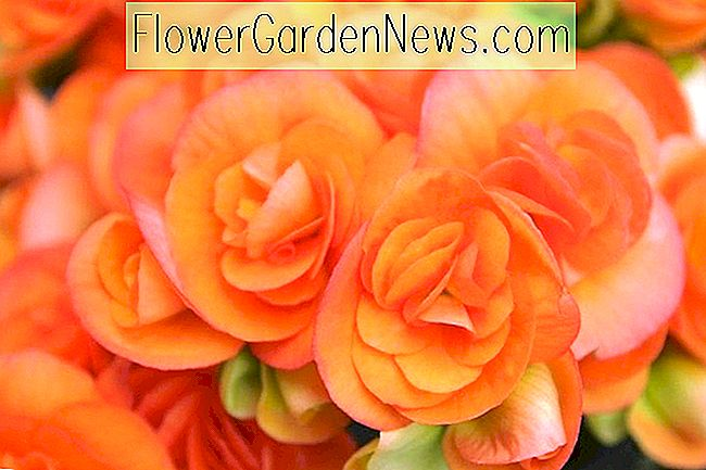 Begonia 'Nonstop Orange', Tuberhybrida Begonia Nonstop Orange, Orange Non Stop Begonie, Begonia Non Stop Orange, Begonie Tuberhybrida'Nonstop Orange, schattenliebende Pflanzen, Sommerblumenzwiebeln, Schattenpflanzen, Schattenblumen, s