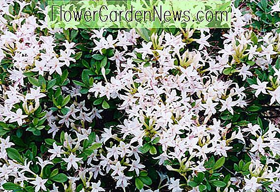 Rhododendron Arborescens, Sweet Azalea, Smooth Azalea, Azalea arborescens, Rhododendron 'Arborescens', Deciduous Azalea, Late Season Rhododendron, Very Late Season Rhododendron, Fragrant Rhododendron, White Rhododendron, White Flowering Shrub