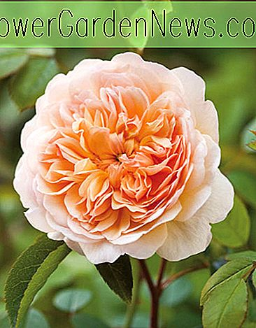 Rosa 'Port Sunlight' (Auslofty)