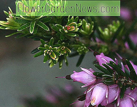 Erica Cinerea 'Rosa Eis', Bell Heather 'Rosa Eis', Rosa Heath, Rosa Heather, Bell Heathers