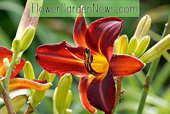 Hemerocallis 'Chicago Blackout' (Taglilie)