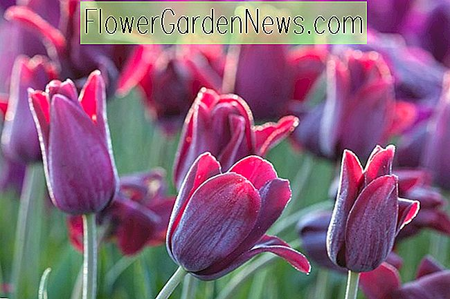 Tulipa 'Recreado' (Single Late Tulip)