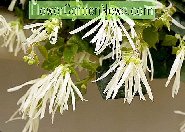 Loropetalum chinense 'Jazz Hands Dwarf White' (Chinesische Fransenblume)