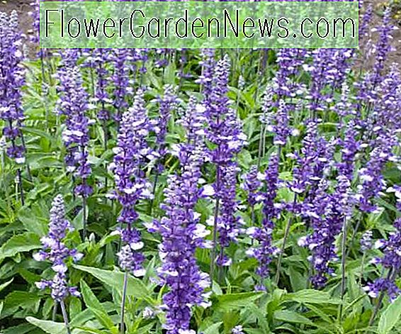 Salvia farinacea 'Fairy Queen' (Mealy Cup Sage)