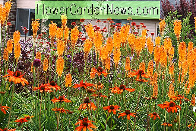 Kniphofia 'Mango Popsicle' (Red Hot Poker)
