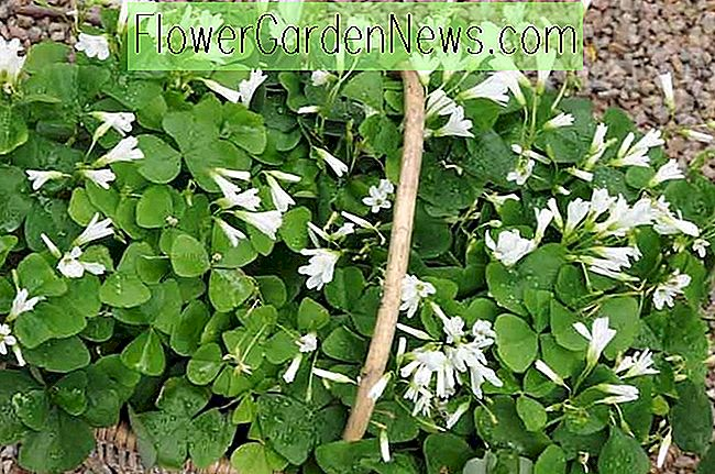 Oxalis triangularis (False Shamrock)