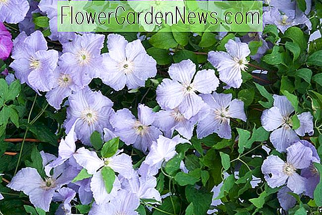 Clematis 'Blue Angel' (Late Large-Flowered Clematis)