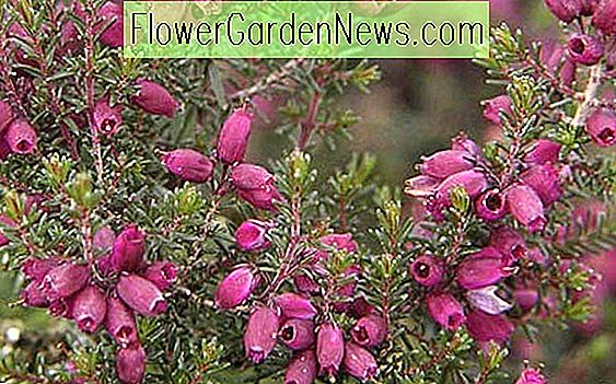 Erica Cinerea 'Velvet Nacht', Bell Heather 'Velvet Night', lila Heath, lila Heather, Bell Heathers