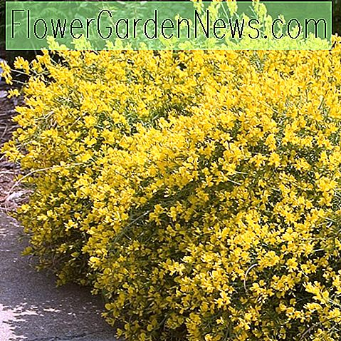 Genista lydia 'Bangle' (Lydian Broom)