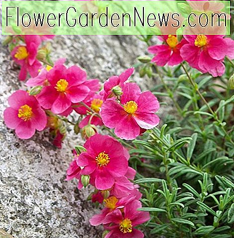 Helianthemum 'Raspberry Ripple' (Steinrose)
