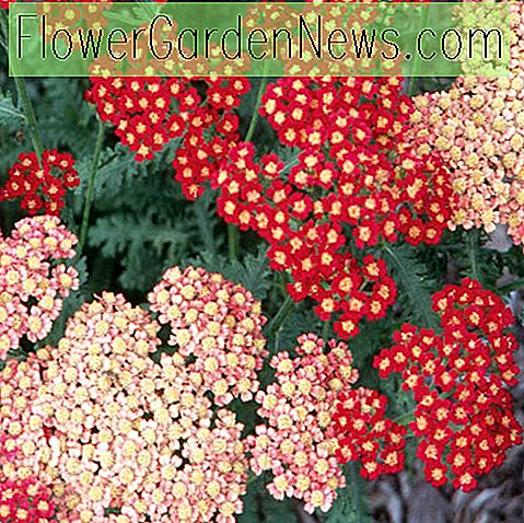 Achillea Millefolium 'Strawberry Seduction' (Schafgarbe)