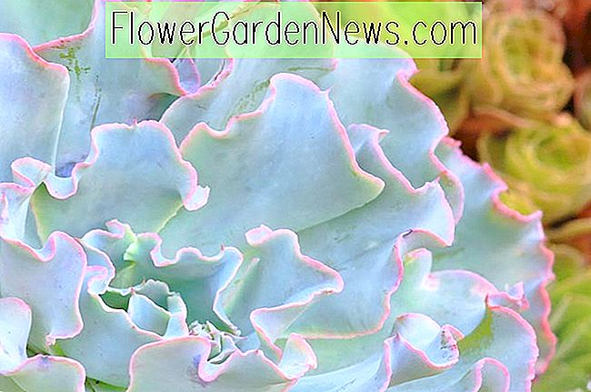 Echeveria 'Lady Wassermann'