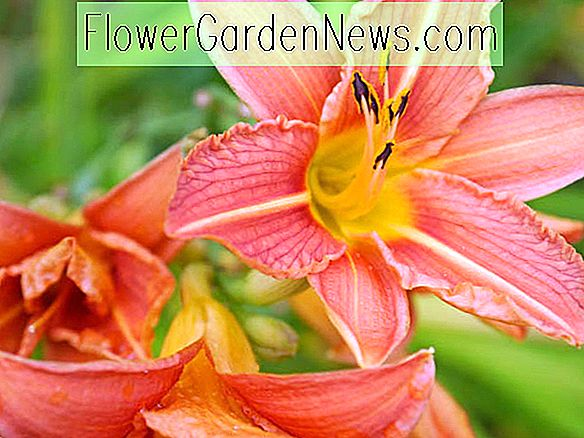 Late Blooming Daylilies
