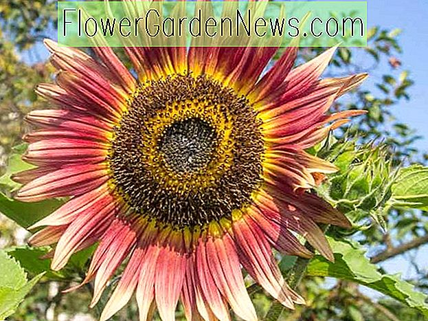 Helianthus annuus 'Gypsy Charmer' (tournesol commun)
