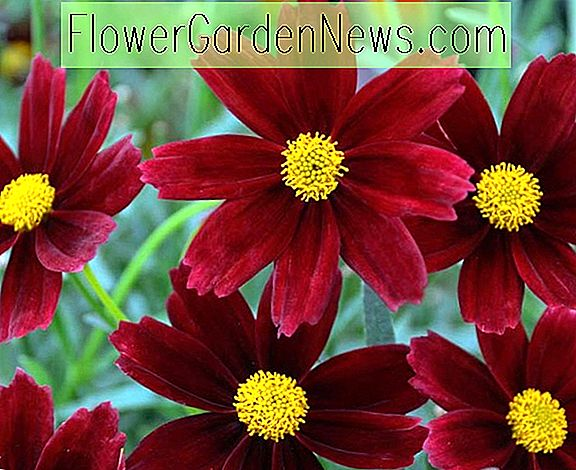 Coreopsis 'Red Elf' (Série Li 'l Bang)
